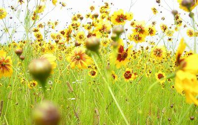 海辺の黄色い花