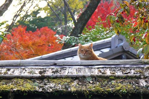 石清水八幡宮のネコ紅葉