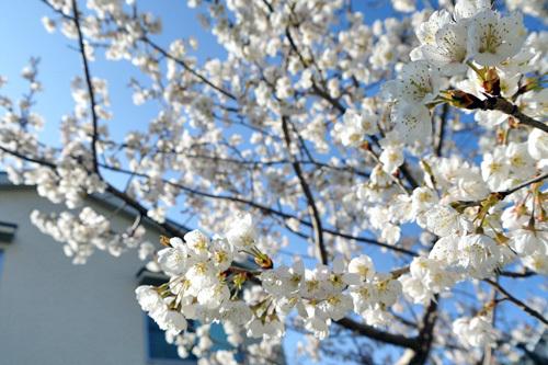 さくらんぼの桜