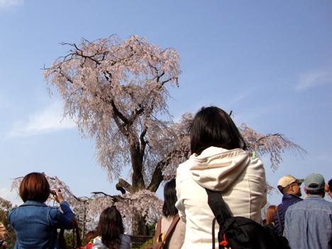 sakura_maruyama.jpg