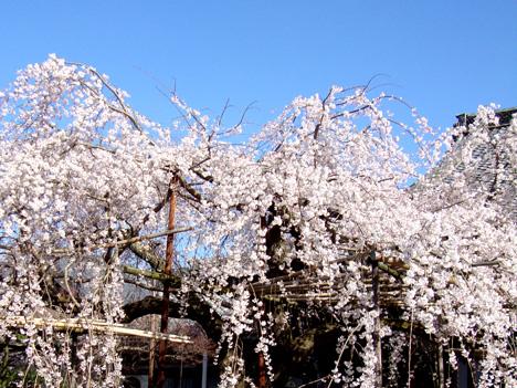 sakura_bisha.jpg